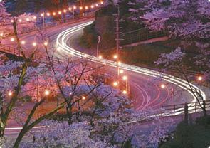 菊池神社・公園周辺桜の見頃